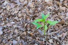 Planta de la pimienta de Baby Bell que crece en hojas cubiertas con pajote Imagen de archivo