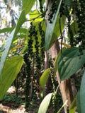 Planta de la pimienta negra en árbol de la areca Imagen de archivo libre de regalías