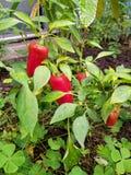 Planta de la pimienta roja con las gotas de agua Imagen de archivo