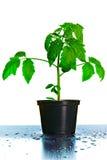 Planta de la planta de semillero del tomate Fotos de archivo libres de regalías