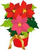 Planta de la poinsetia Fotos de archivo