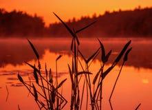 Planta de la punta de flecha en el agua en la salida del sol Fotografía de archivo