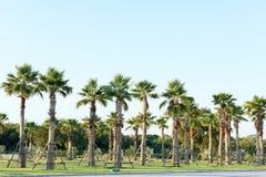 Planta de la relocalización de la palmera del azúcar Fotografía de archivo libre de regalías