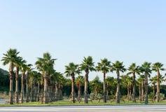 Planta de la relocalización de la palmera del azúcar Imágenes de archivo libres de regalías