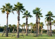 Planta de la relocalización de la palmera del azúcar Imagen de archivo