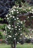 Planta de la rosa del blanco que sube Imagenes de archivo
