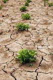 Planta de la sequía Fotografía de archivo