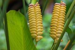 Planta de la serpiente de cascabel con el crotalifera amarillo de Calathea de la flor en t Fotos de archivo