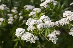 Planta de la valeriana Imagen de archivo libre de regalías