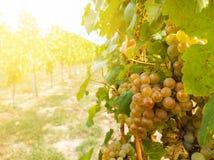 Planta de la vid y manojo de uvas maduro en viñedo fotos de archivo