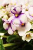 Planta de la violeta africana Fotografía de archivo libre de regalías