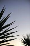 Planta de la yuca Fotografía de archivo