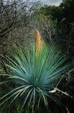 Planta de la yuca Imagen de archivo libre de regalías