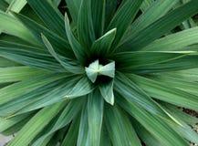 Planta de la yuca Foto de archivo