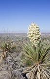 Planta de la yuca con las flores blancas Imagen de archivo