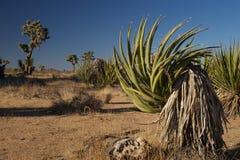 Planta de la yuca en la yuca Imagenes de archivo