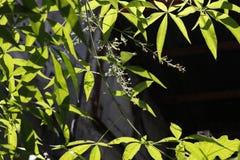 Planta de Lagundi con las flores debajo del sol fotos de archivo libres de regalías