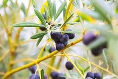 Planta de las aceitunas negras Foto de archivo libre de regalías
