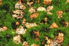 Planta de las algas Fotos de archivo libres de regalías