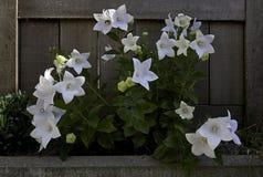 Planta de las flores de globo en jardín fotos de archivo