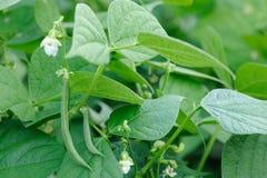 Planta de las habichuelas verdes Imagen de archivo libre de regalías