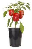 Planta de las pimientas rojas Imágenes de archivo libres de regalías