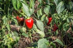 Planta de las pimientas rojas Foto de archivo