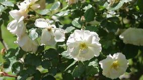 Planta de las rosas blancas en jardín metrajes