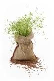 Planta de lentilha Imagens de Stock