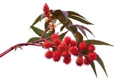 Planta de óleo de rícino vermelha Fotos de Stock Royalty Free