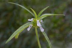 Planta de Leucas com flores imagens de stock