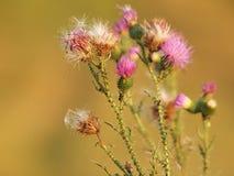 Planta de los acanthoides del Carduus, conocida como el cardo implume espinoso o cardo welted imagen de archivo libre de regalías