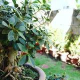 Planta de los bonsais Imagen de archivo libre de regalías