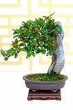 Planta de los bonsais del hindsii del fortunella del kumquat de Hong-Kong Imágenes de archivo libres de regalías