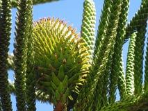 Planta de los columnaris de la araucaria Imagen de archivo