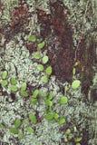 Planta de los piloselloides del Pyrrosia en la madera Fotografía de archivo libre de regalías