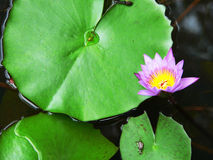 Planta de loto, Borneo Fotografía de archivo libre de regalías