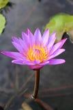 Planta de loto en el agua Fotos de archivo libres de regalías