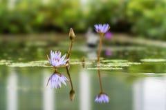 Planta de Lotus situada em Bandung, Indonésia foto de stock royalty free