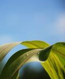 Planta de maíz Fotos de archivo libres de regalías