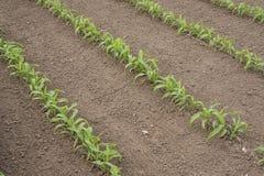 Planta de maíz Fotografía de archivo libre de regalías