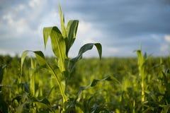 Planta de maíz joven en sol de la mañana Foto de archivo libre de regalías