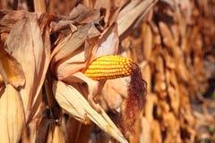Planta de maíz madura de oro Fotografía de archivo libre de regalías
