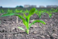 Planta de maíz verde joven contra la perspectiva de edificios urbanos imagenes de archivo