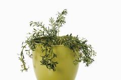 Planta de Maca Fotografía de archivo