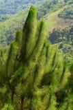 Planta de madera de pino del invierno en Tailandia. Fotos de archivo libres de regalías