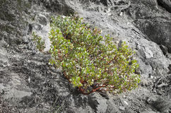 Planta de Manzanita Imagem de Stock Royalty Free