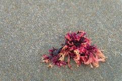 Planta de mar na praia em Oregon, EUA Imagem de Stock