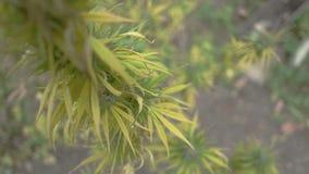 Planta de marijuana caseiro video estoque