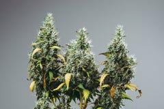 A planta de marijuana cresce com botões Fotografia de Stock Royalty Free